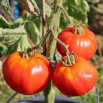 Tomatensorte Lehrertomate