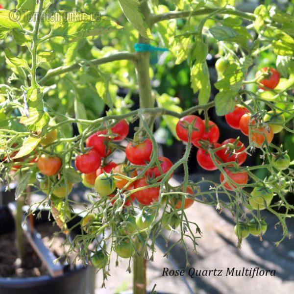 Tomatensorte Rose Quartz Multiflora