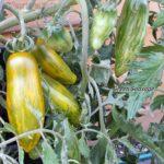 Tomatensorte Green Sausage
