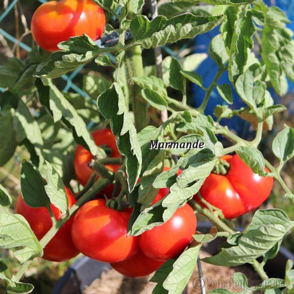 Tomatensorte Marmande