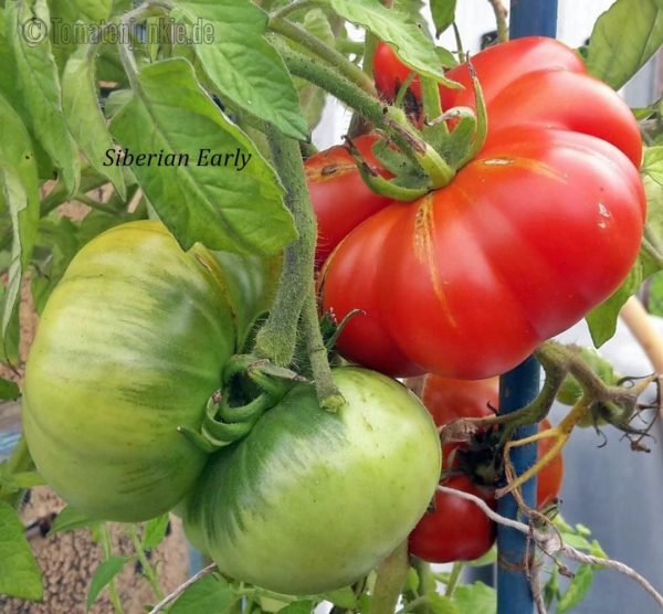 Tomatensorte Siberian Early