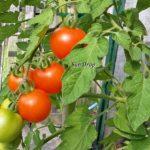 Tomatensorte Sun Drop