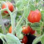 Tomatensorte Fuzzy Wuzzy
