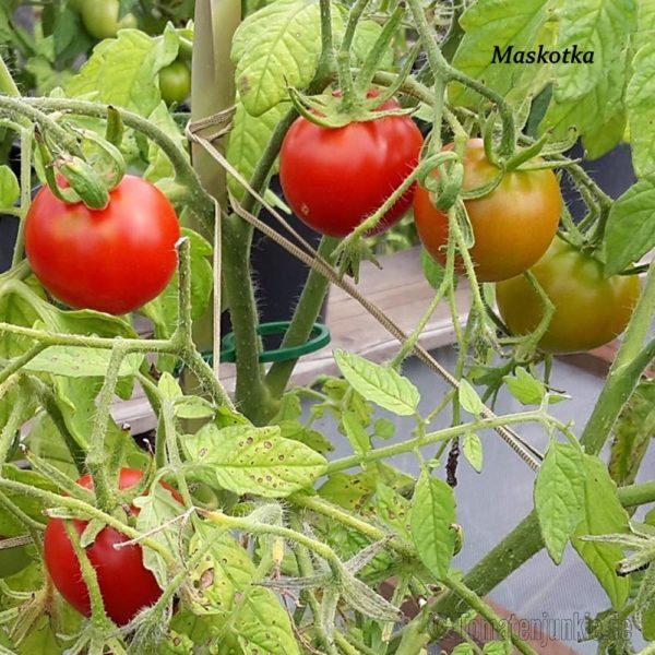 Tomatensorte Maskotka