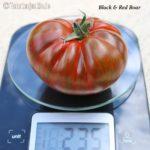 Tomatensorte Black & Red Boar
