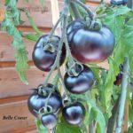 Tomatensorte Belle Coeur