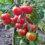 Tomatensorte Besser
