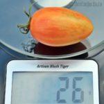 Tomatensorte Artisan Blush Tiger