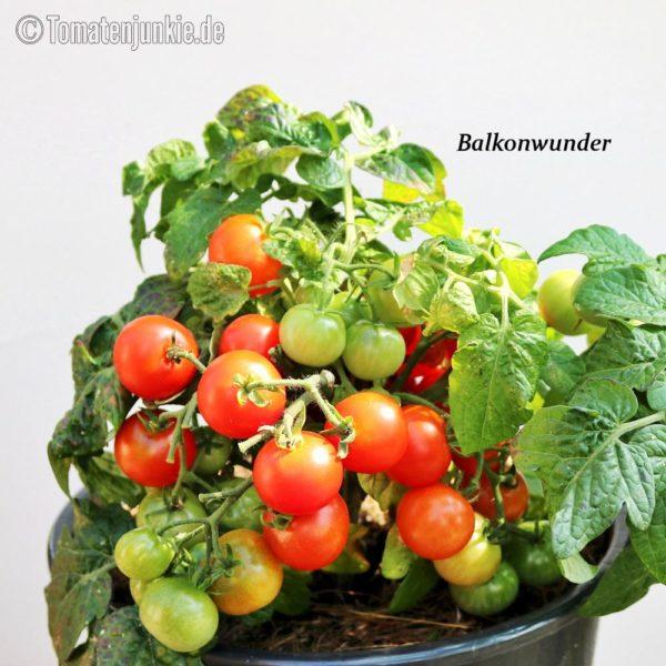 Tomatensorte Balkonwunder