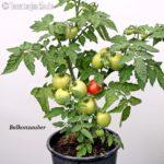 Tomatensorte Balkonzauber