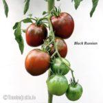 Tomatensorte Black Russian