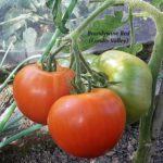 Tomatensorte Brandywine Red