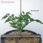 Tomatensorte Rosenstock