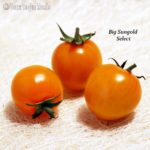 Tomatensorte Big Sungold Select