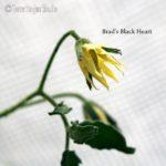 Tomatensorte Brad's Black Heart