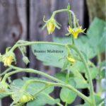 Tomatensorte Braune Maltitzer