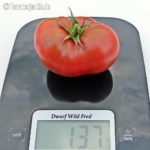 Tomatensorte Dwarf Wild Fred