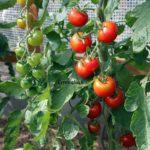 Tomatensorte Ernteglück