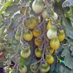 Tomatensorte Green Pear