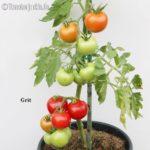 Tomatensorte Grit