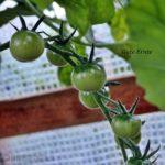 Tomatensorte Gute Ernte