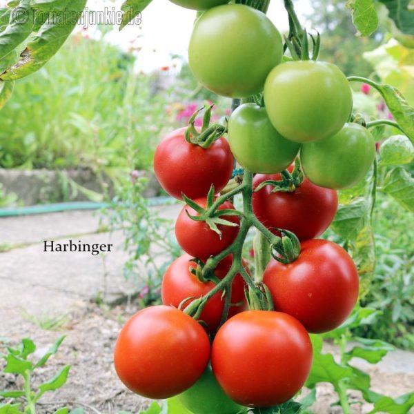Tomatensorte Harbinger