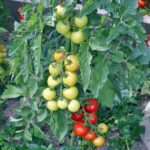 Tomatensorte Harzer Kind