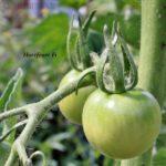 Tomatensorte Harzfeuer F1