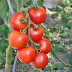 Tomatensorte Harzliebe