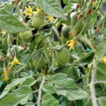 Tomatensorte Himbeerrose