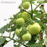 Tomatensorte Iris