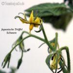 Tomatensorte Japanische Trüffel Schwarz