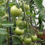 Tomatensorte Jaune Flamme