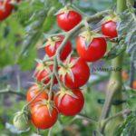 Tomatensorte Justens Süße