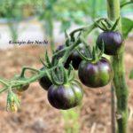 Tomatensorte Königin der Nacht