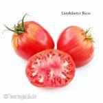 Tomatensorte Landshuter Riese