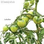 Tomatensorte Lukullus