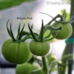 Tomatensorte Mikado Pink