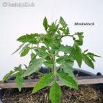 Tomatensorte Moskwitsch