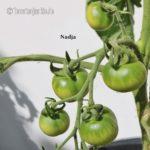 Tomatensorte Nadja