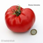 Tomatensorte Nonna Antonina