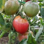 Tomatensorte Ochsenherz aus Kasachstan