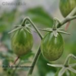 Tomatensorte Rote Johannisbeertomate
