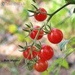 Tomatensorte Rote Murmel