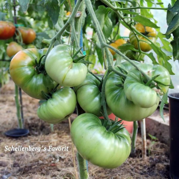 Tomatensorte Schellenberg's Favorit