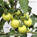 Tomatensorte Sieger