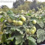 Tomatensorte Vilma