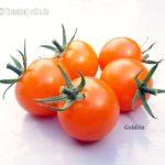 Tomatensorte Goldita