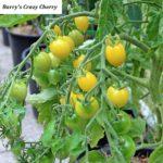 Tomatensorte Barry's Crazy Cherry